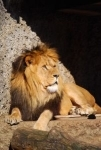 Broasca si leul